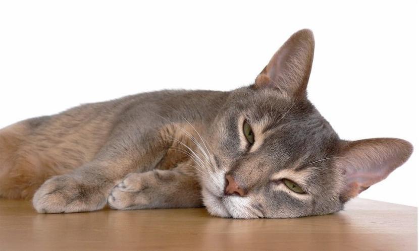 Gato Abisinio durmiendo