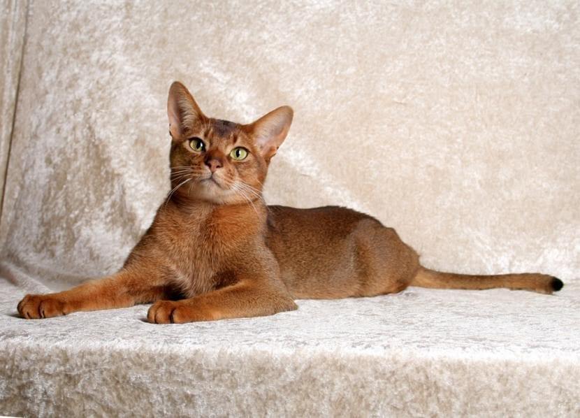 Gato Abisinio relajado