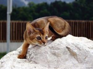 gato abisinio cazando