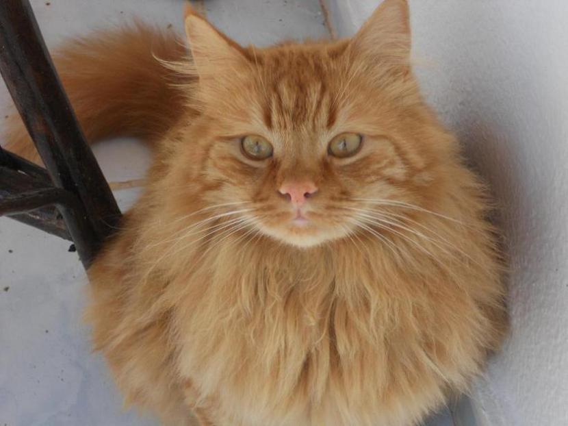 Gato de angora marrón