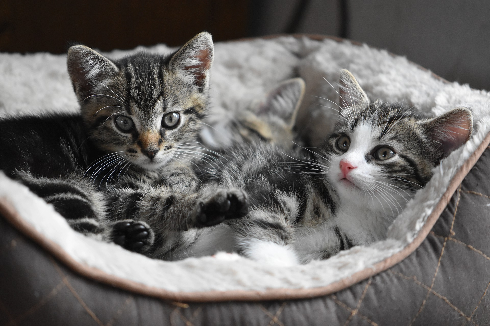 Dos gatos jóvenes en una canasta