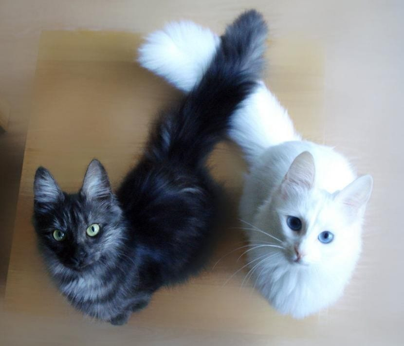 Gatos de angora, los más cariñosos