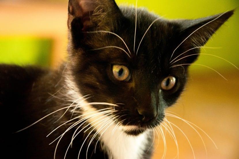 Los gatos tienen entre 16 y 24 bigotes