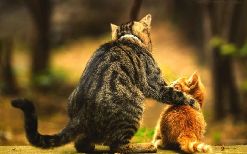 Gato adulto con gatito