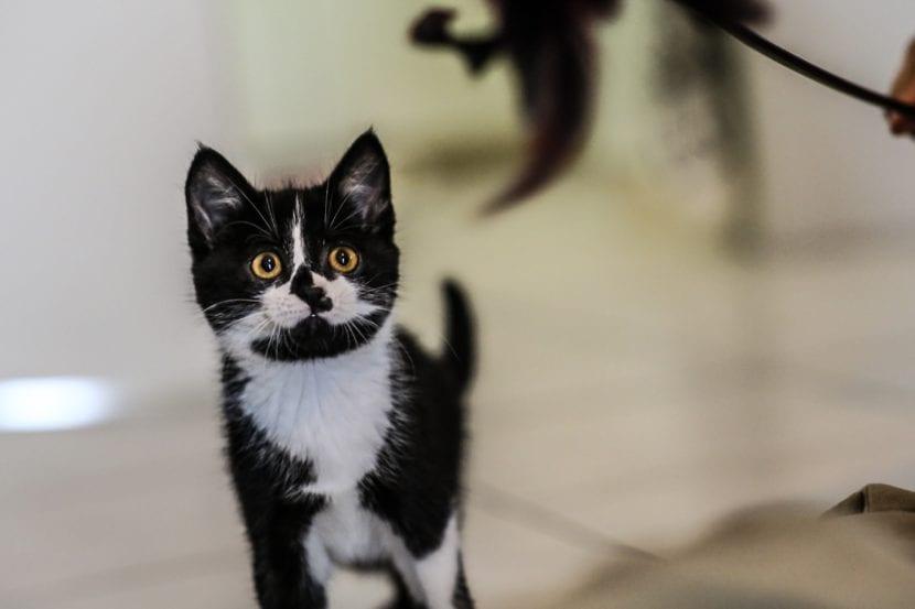 La tiña es una enfermedad que afecta a los gatos