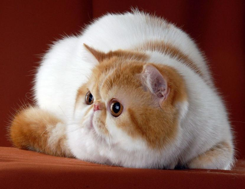 gato exótico tumbado