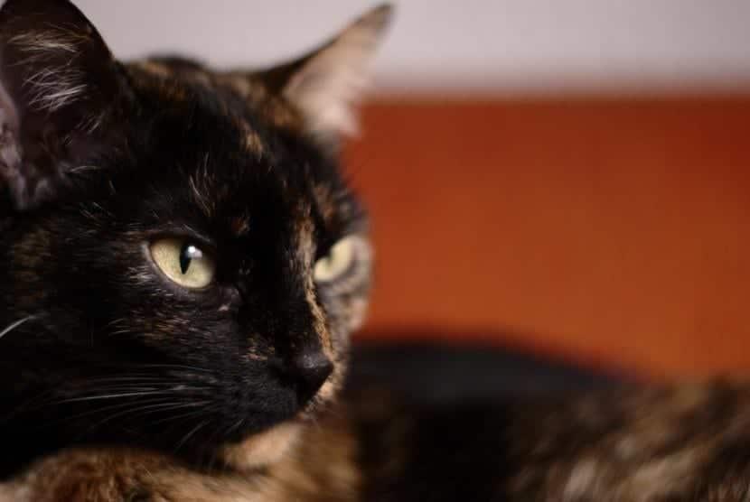 Causas de la otitis en gatos