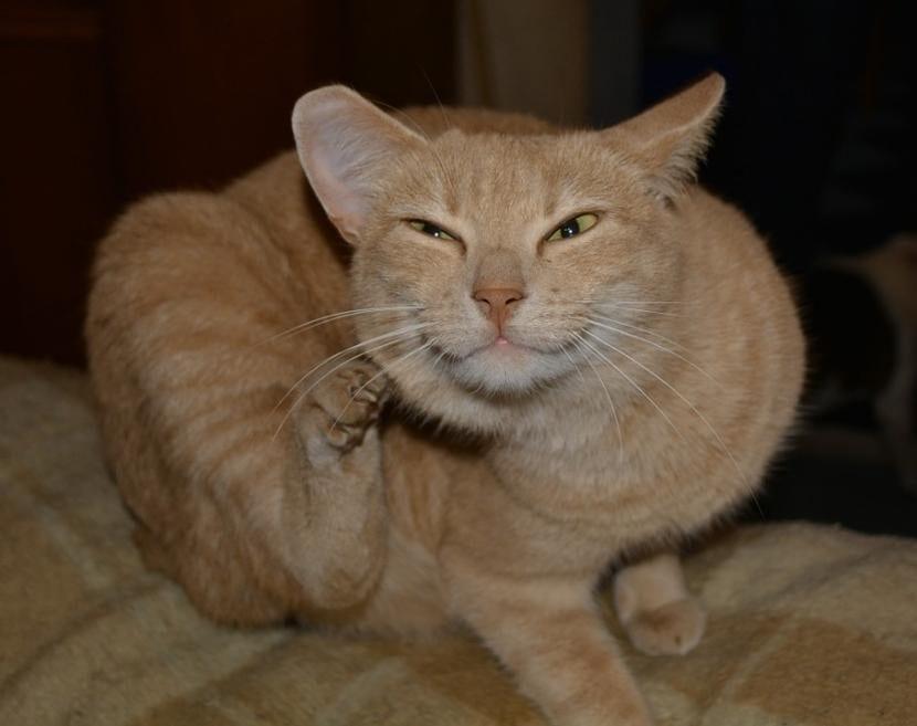 Los parásitos son muy molestos para los gatos