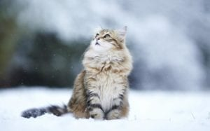 gato siberiano en la nieve