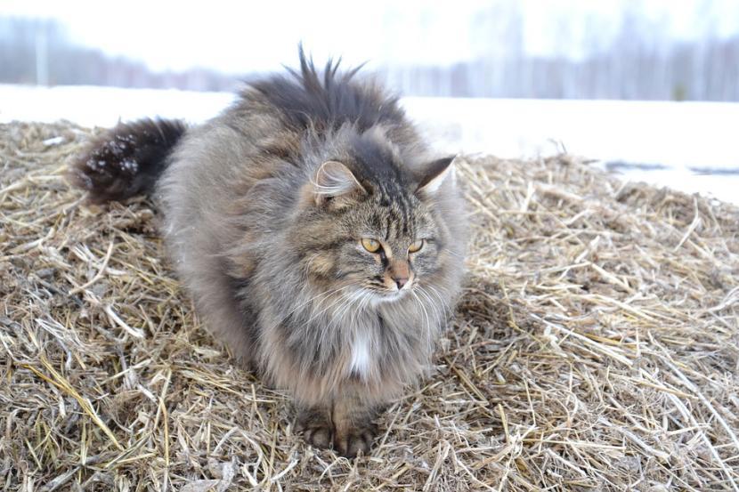 gato siberiano gris
