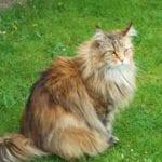 Gato siberiano de lado