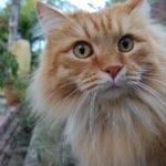 gato siberiano naranja