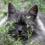 gato siberiano de cara