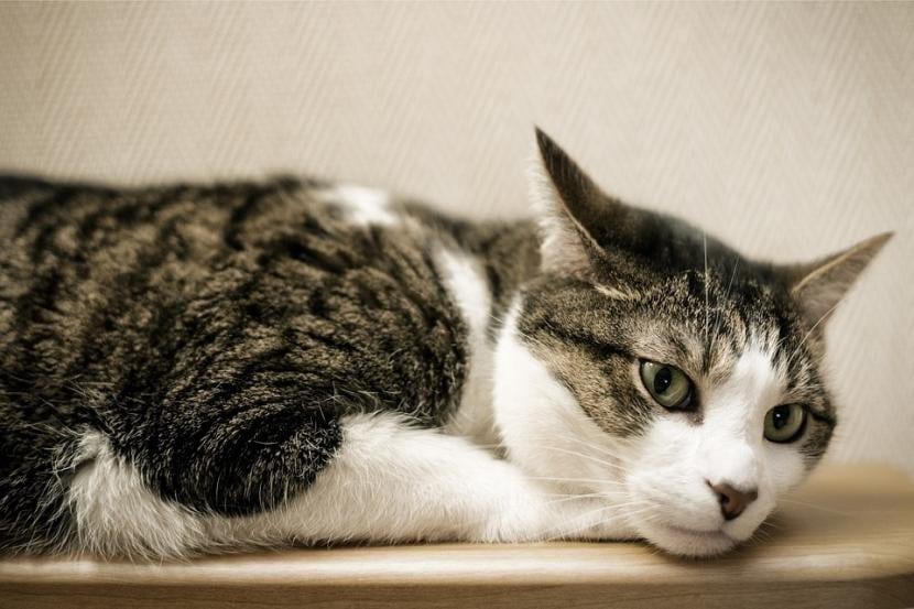 Gato enfermo de otitis