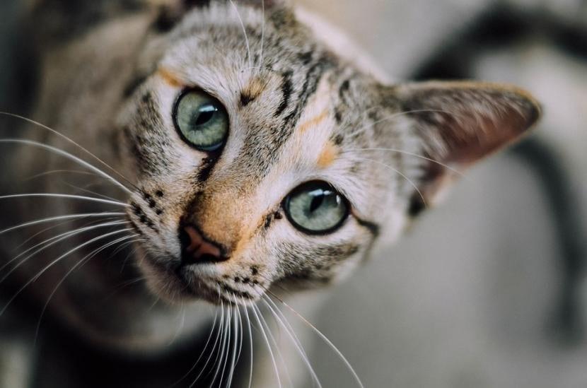 Síntomas de gatos con otitis