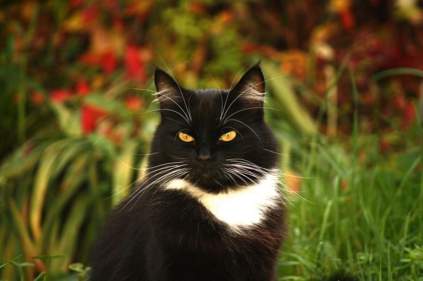 Tratamiento de un gato con otitis