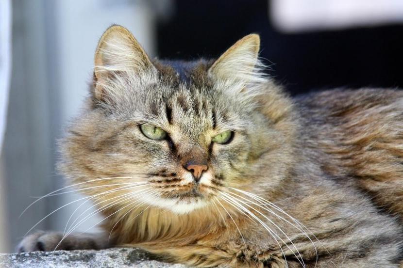 Consejos para un gato con conjuntivitis