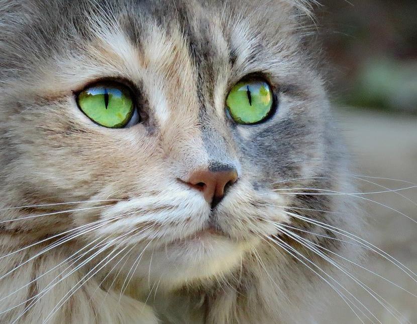 Gato con ojos normales