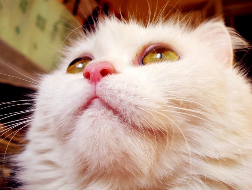 Síntomas de conjuntivitis en gatos