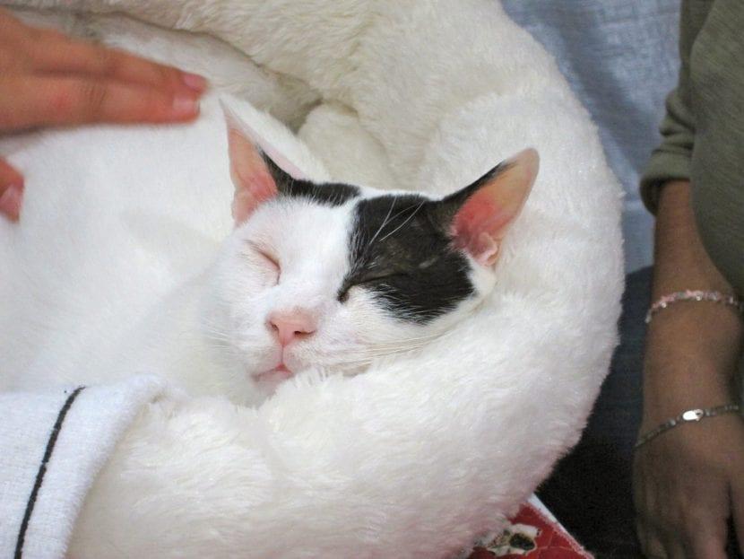 Bobtail japonés durmiendo