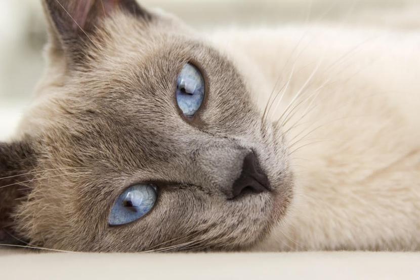 Gato tumbado sin collar isabelino