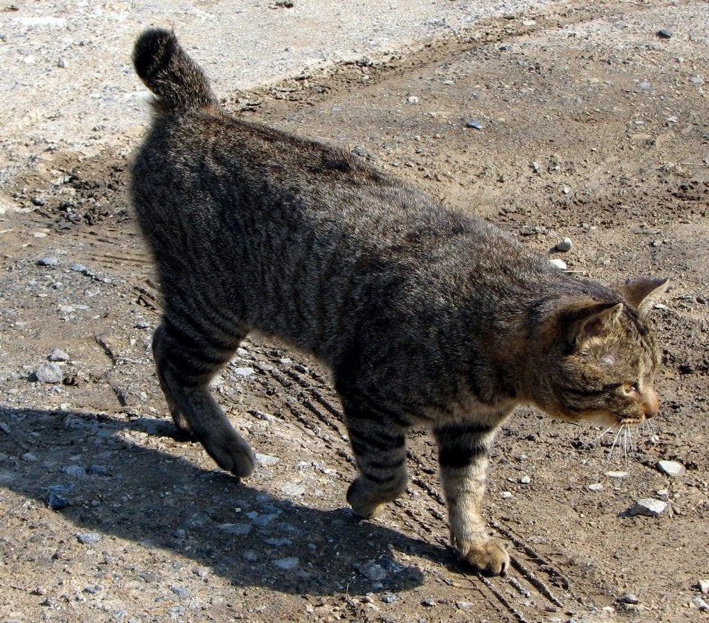 Gato bobtail japonés caminando