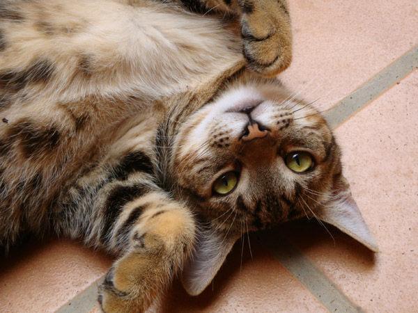 Gato jugando en el piso
