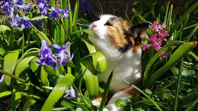 Los gatos que salen al exterior pueden tener pulgas
