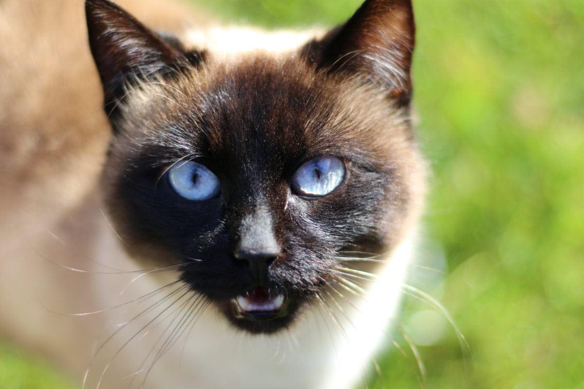 El gato siames es adorable