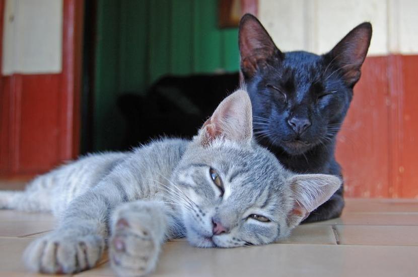 Gatos compañeros