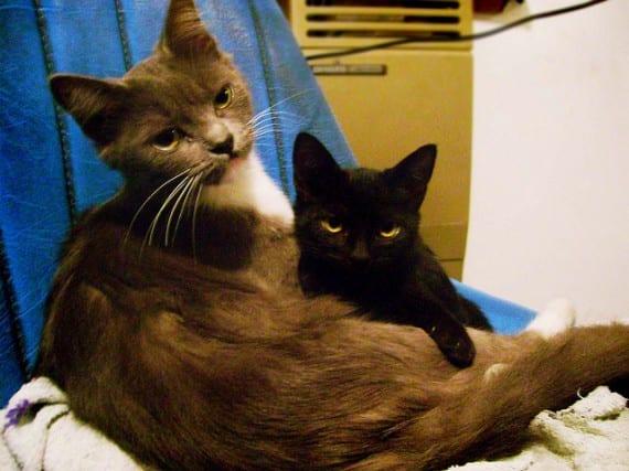 Cortarle el pelo a los gatos
