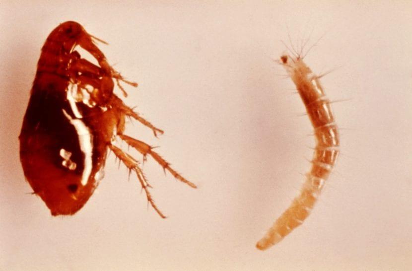 Las pulgas son pequeñas