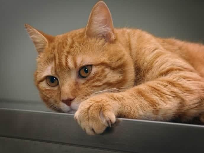 Antipulgas con bioactivacion para gatos
