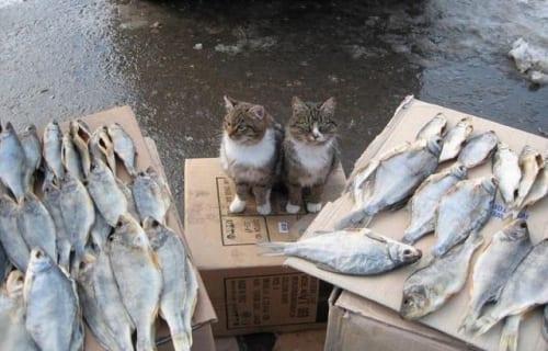 Gatos a punto de comer pescado