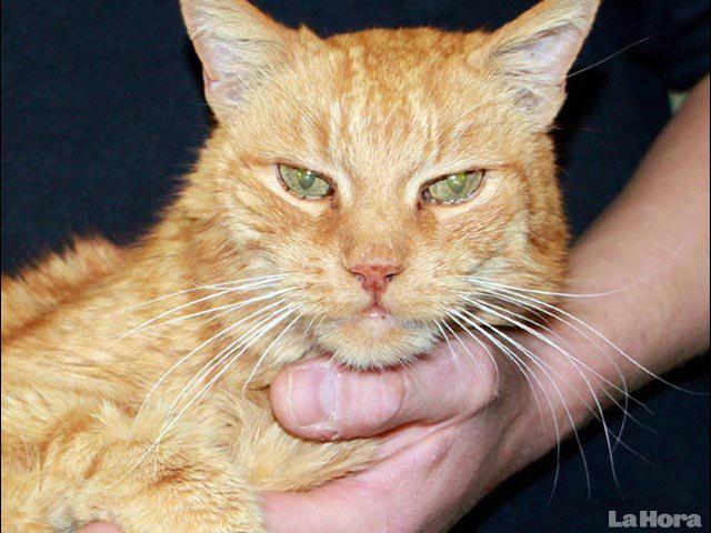 Poldi, gato hallado gracias a su identificación