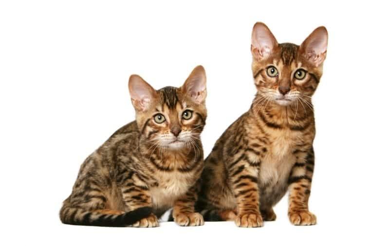 Gatos de raza California Spangled