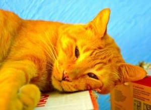 Clasificación Científica De Los Gatos