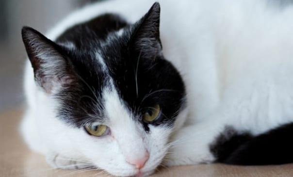 Gato asmatico
