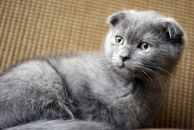 Gato de raza Fold Escocés