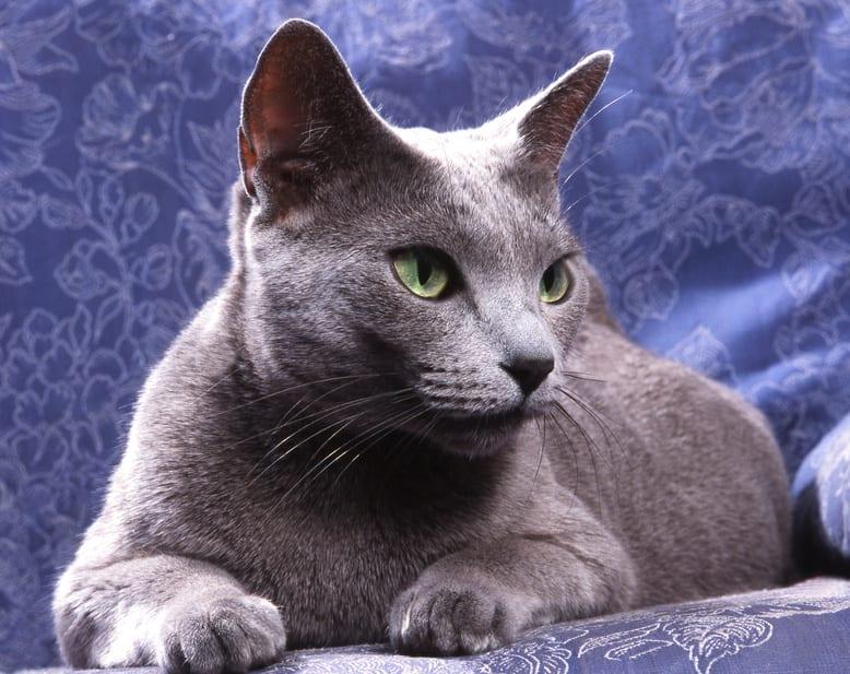 Gato de raza Azul Turco