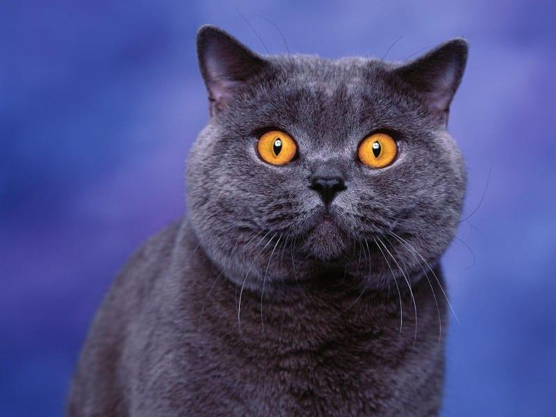 Gato de raza Azul Ruso