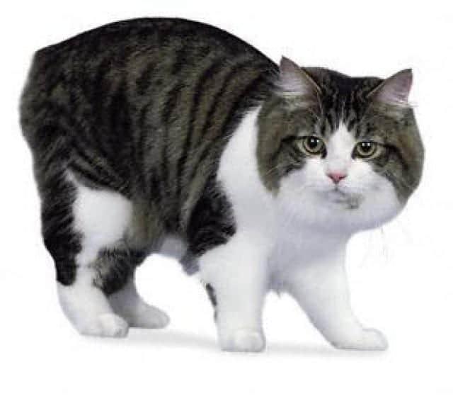 Gato de raza Cymric