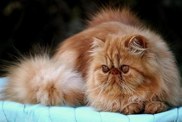 Gato de raza Tiffany