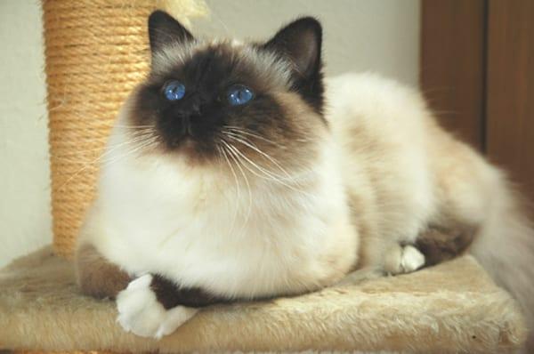 Gato de raza birmano