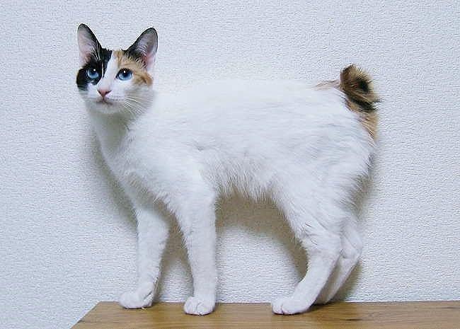 Gato de raza Bobtail Japones