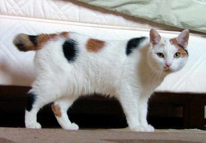 Gato de raza Bobtail Japonés