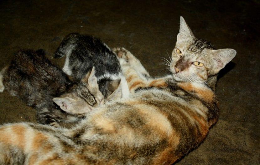 Vista de una gata tricolor con sus crías