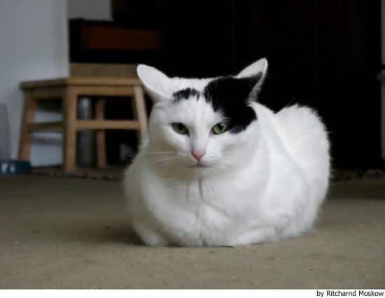 Raza de gato Van Turco