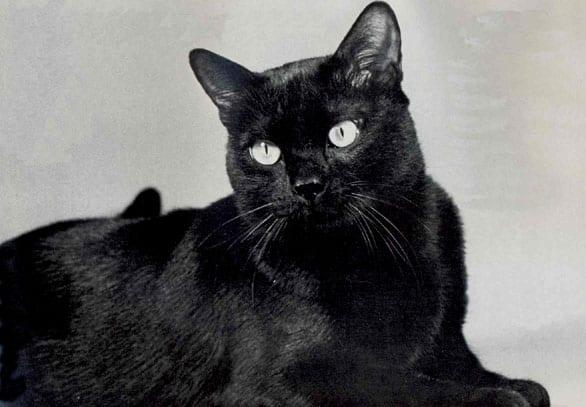 Gato de raza Bombay