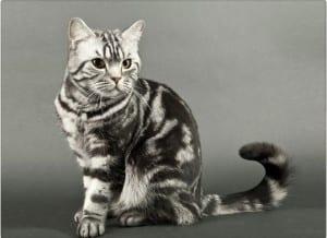 Gato con cola de semental